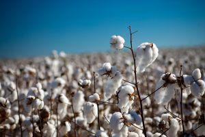 Преведоха близо 5 млн. лв. на 108 памукопроизводители за 2018 г.