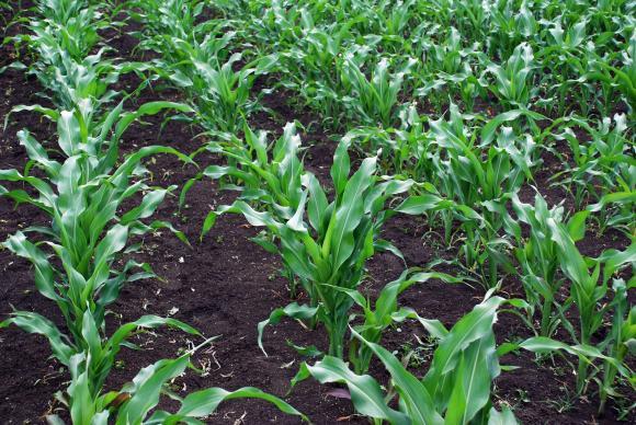 Шокиращо влошаване на прогнозата за производство на царевица САЩ