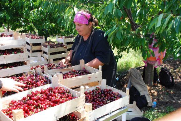 Свежият плод трябва да е на трапезата до 24 часа от откъсването