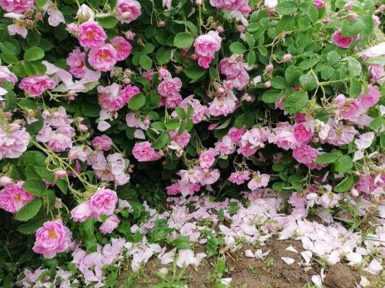 Рязък срив в добивите от череши и маслодайна роза