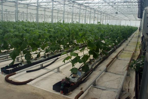 Органично подхранване на краставиците