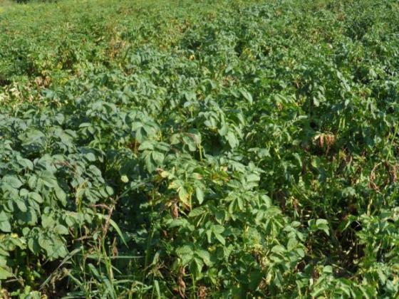 Липсата на валежи и жегите заплашват зеленчуковата реколта в Украйна