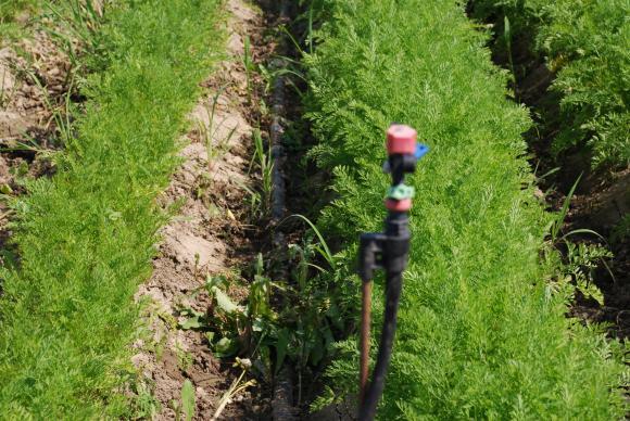 Холандски метод за поливане на морковите