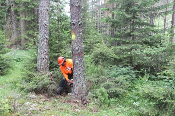 Класация в националното състезание за дървосекачи
