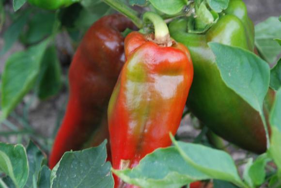 Листно подхранване на пипера за повече чушки