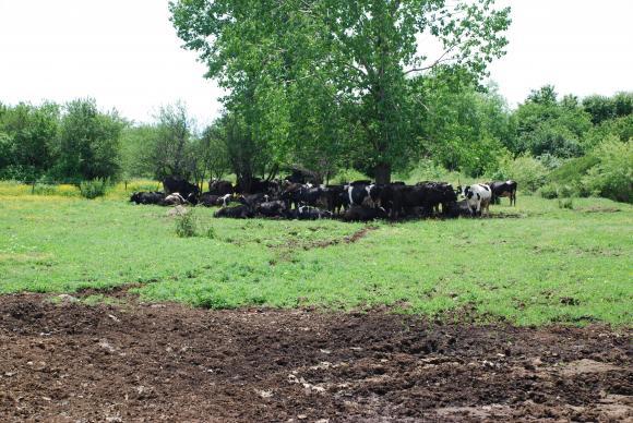 Въпреки помощта за месодайните крави дефицитът от родна суровина отчита пик от 30 процента