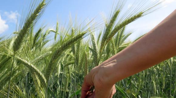 Цените на пшеницата в ЕС падат под натиска на реколтната преса