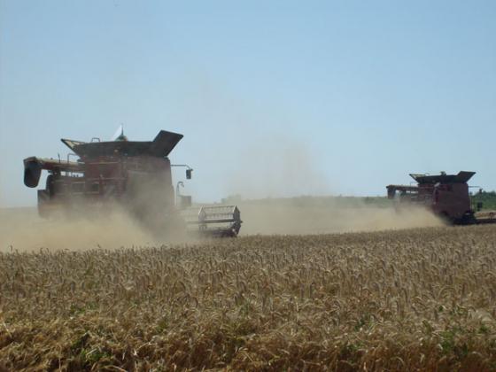 Високото качество на черноморската пшеница ще оскъпи фуражното зърно
