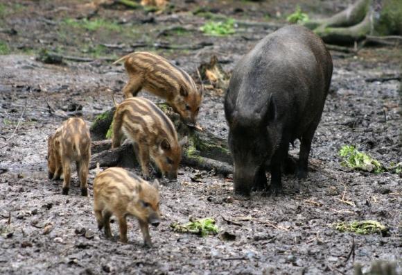 На 10 юли ще се фиксират районите за лов на глигани – с плащания от 50 лева при отстрел