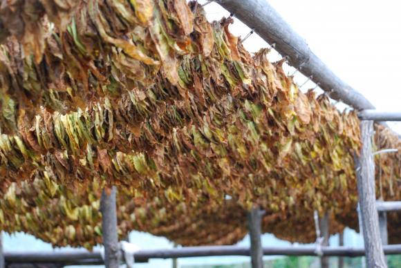 От 15 юли до 15 август тече втори прием за тютюнопроизводителите по схемата de minimis