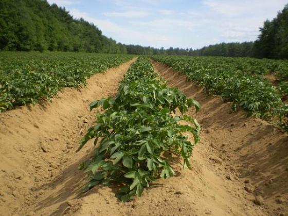 Плюсовете на лятното отглеждане на картофи