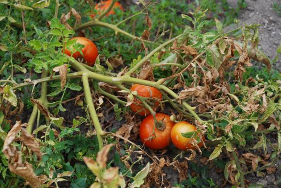 Върховото гниене при доматите – 5 съвета на специалисти