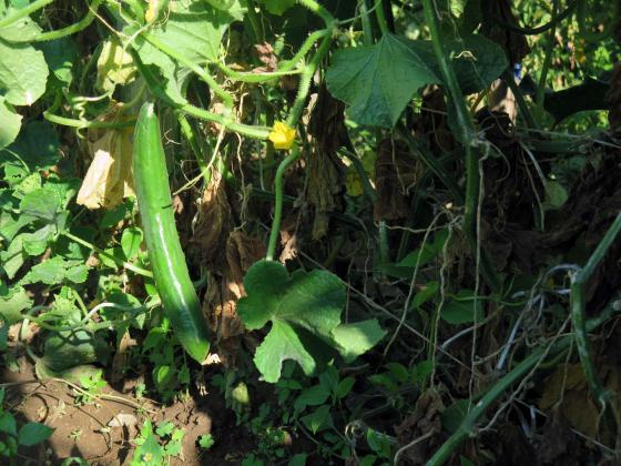 Стимулирайте краставиците да раждат повече