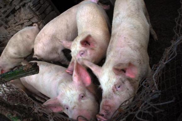 Още една свинеферма в Русенско обхваната от чумата