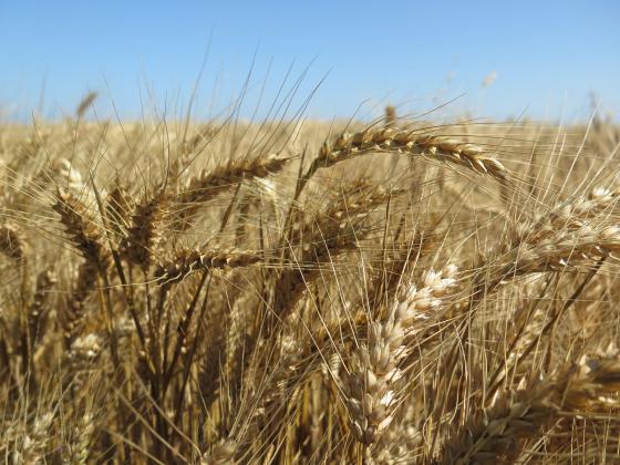 Разходът за горивото, ползвано при реколтата от пшеница или рапица през 2018 г., е 76,6 литра на хектар