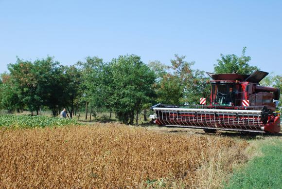Прибирайте фасула при 14-16 процента влажност на семената