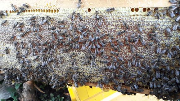 На 13 септември в София ще се отбележи международният ден на пчелата