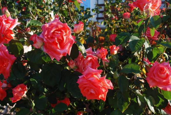 Три години са ви нужни да отгледате дървовидни рози