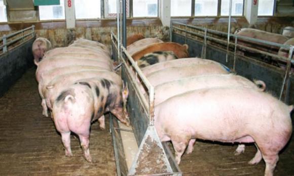 Откриха АЧС в пореден голям свинекомплекс във Видинско