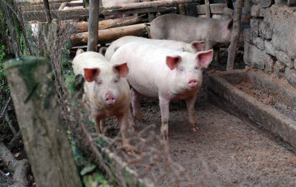 Всяко шесто домашно прасе в света е умъртвено заради АЧС