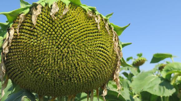 Слънчогледът и слънчогледовото масло в региона поевтиняват