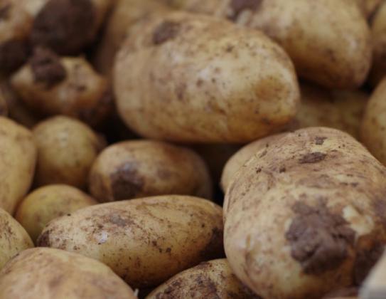 Не е достатъчно да приберете картофите, трябва и правилно съхранение