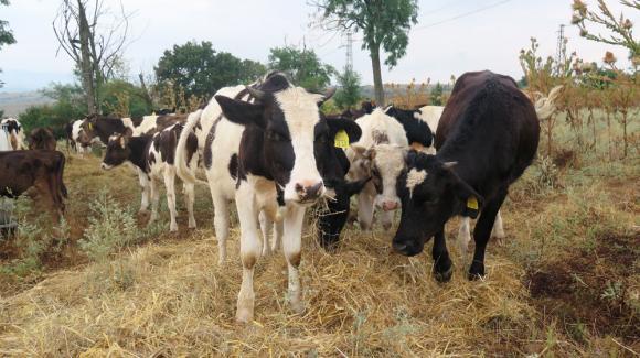 Кабинетът одобри 27 млн. лв. преходна национална помощ за животновъди