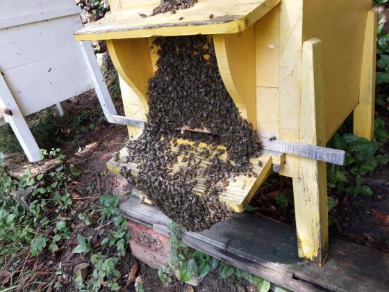 Предстои демонстрация в работна среда за пчелари на тема новости в технологията за майкопроизводство