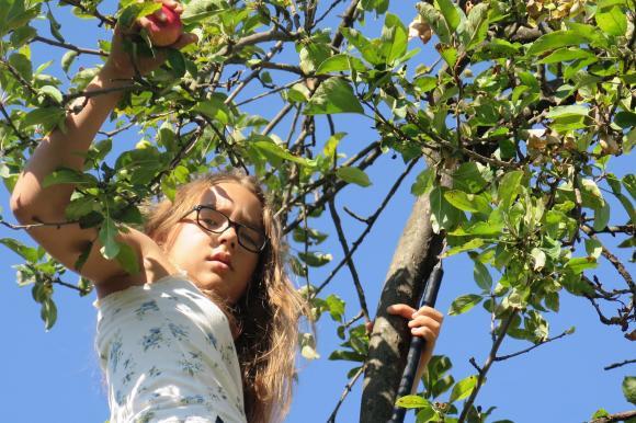 Биологична характеристика на ябълката