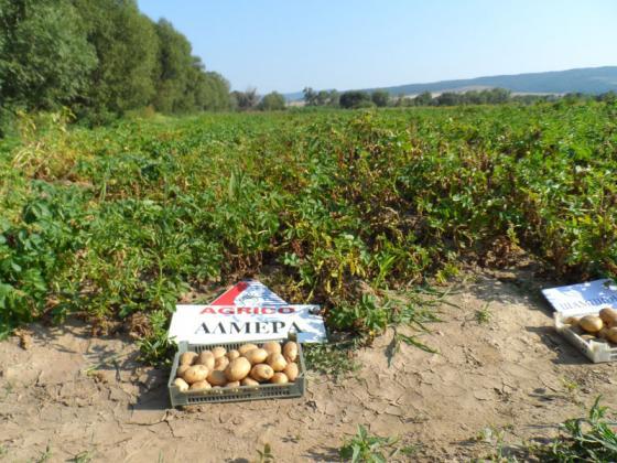 Предстои семинар с демонстрация на полето на тема добри практики в картофопроизводството