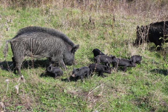 БАБХ забрани свободната паша на домашни прасета в страната