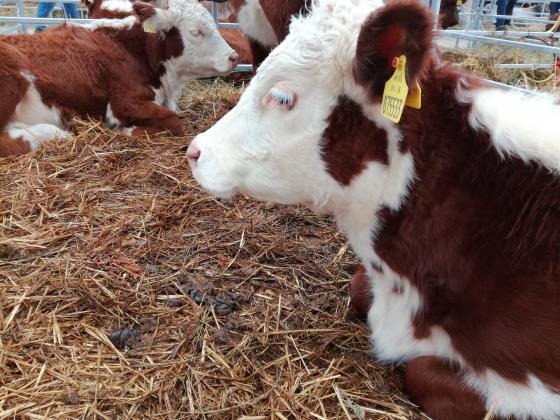 Маса фермери горят със субсидии, защото нямат фактури за продадените телета