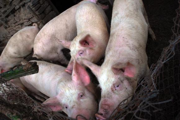 Умъртвиха 99 прасета в Ахелой собственност на шестима стопани
