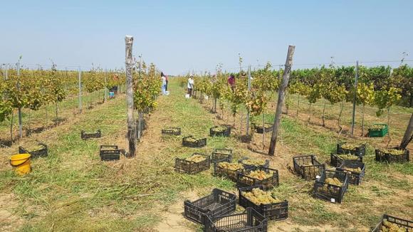 От 2020 година ще се плаща на лозарите да прибират гроздето зелено