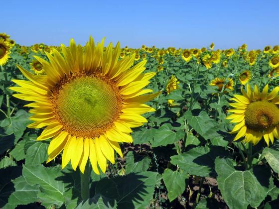 Румъния внася сурово биологично олио от Украйна за преработка и реекспорт в ЕС