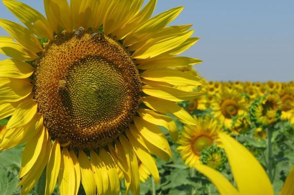 Добивите от слънчоглед в Русия и Украйна чупят рекорди, а цените на слънчогледовото масло се покачват