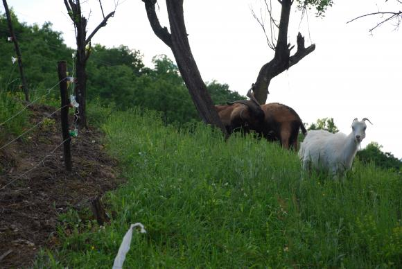 Над 4,3 млн. лева са преведени по обвързаната подкрепа за животновъдите