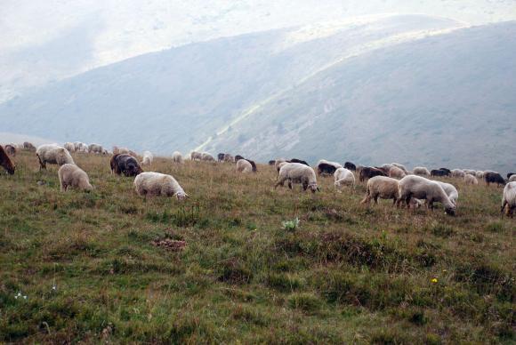 На 7 декември Националната овцевъдна и козевъдна асоциация провежда годишната си среща