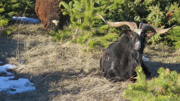 Вижте ставките по схемата за обвързано подпомагане за овце-майки и кози-майки под селекционен контрол