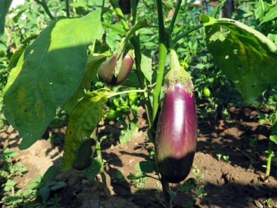 Изчистено е дублирането на латински и български имена в сортовата листа на зеленчуците
