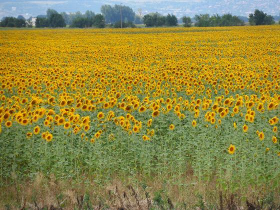 Голяма част от слънчогледа в основни производствени региони в САЩ ще зимува на полето
