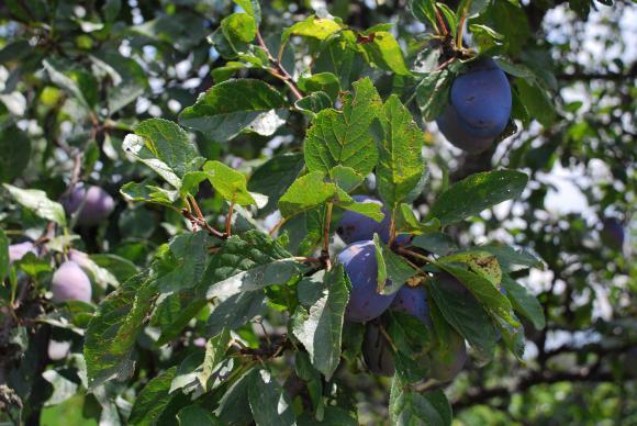 ЕС увеличи безмитната квота за внос на грозде и сливи от Молдова