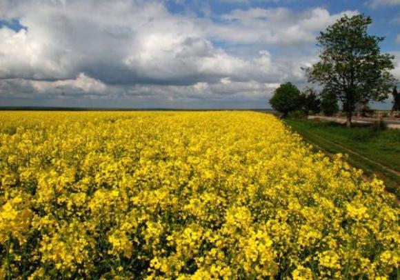 Площите със засята през есента рапица в Украйна са намалели с близо 15 на сто