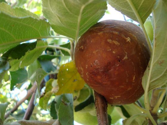 Слабите приходи на овощарите в Полша изчистиха ябълките им от пестициди