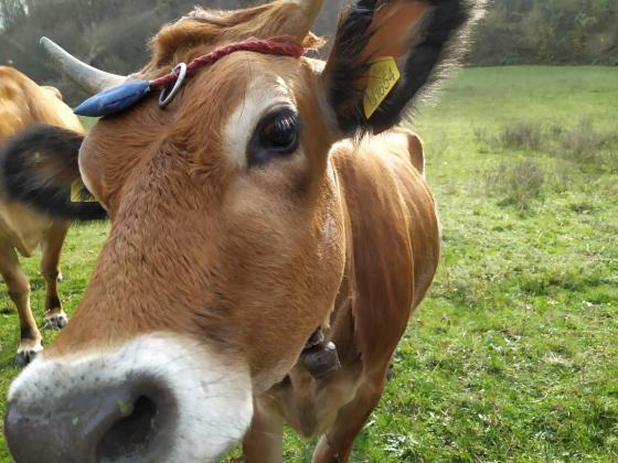 Животновъди се отказват от иновации по подмярка 16,1 заради калпави критерии