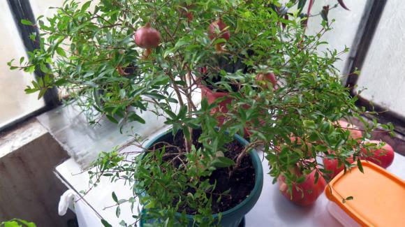 Наровото дърво е древно полезно растение, което можете да отглеждате и у дома
