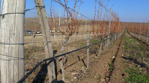 Изтича срокът за подаване на декларациите за реколта от грозде