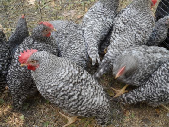 """Фонд """"Земеделие"""" отпуска 34,5 млн. лева за хуманно отношение към птиците"""
