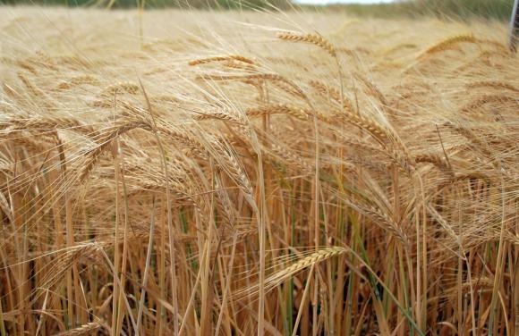 Износът на мека пшеница от ЕС е нараснал с над 70 на сто