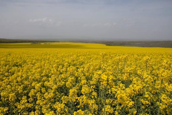 Украйна изнесе почти цялата миналогодишна реколта от рапица